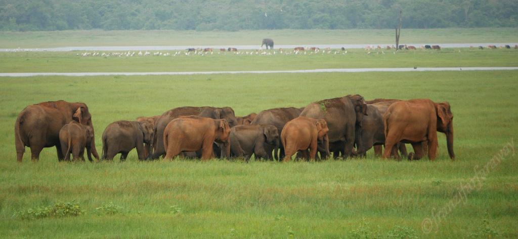 Elefanten Safari im Kaudulla Nationalpark
